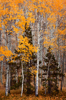 Aspens and Pines, Rush Creek