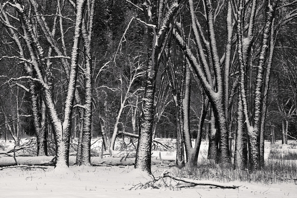 Dense Trees, Blowing Snow